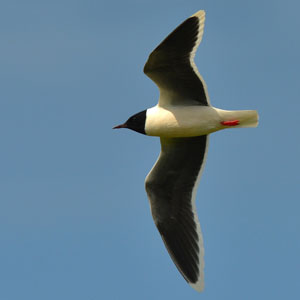 Estonia Bird Tour - Little Gull