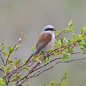 Estonia Bird Tour - Red-backed Shrike