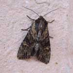 Clouded-bordered Brindle