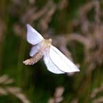 Ghost Moth (male)